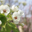 Flowers of apple-tree — Stock Photo #5569083
