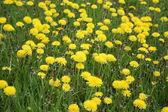 Flowering dandelion — Stock Photo