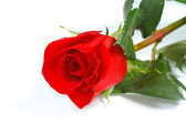 The fresh beautiful red rose — Stock Photo