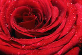 Rose with water drops — Stock Photo
