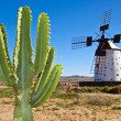 cactus and the traditional windmill at the fuertaventura — Stock Photo