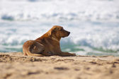 Dog resting at the sandy beach. — Stock Photo