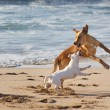 Dogs playing at the beach — Stock Photo