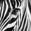 Portrait of a zebra — Stock Photo