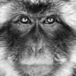 Black and white monkey portrait - Stock Photo