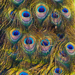 Colourful peacock feather — Stock Photo #6282474