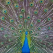Peacock showing off — Stock Photo