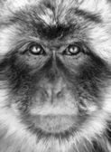 Black and white monkey portrait — Stock Photo