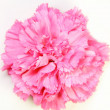 Pink carnation — Stock Photo #6228522