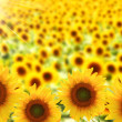 Field of beautiful sunflowers with sunlight — Stock Photo