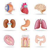 Menschliche organe — Stockvektor