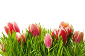 Pink tulips in a green grass — Stock Photo