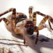 Poisonous spider — Stock Photo