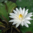 White lotus in a pond — Stok fotoğraf