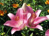 Beautiful lily — Stock Photo