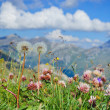 Alpine meadow closeup to the background Großglockner. Austria — Stock Photo