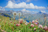 Alpine meadow closeup to the background Großglockner. Austria — Foto de Stock