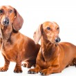 Two Dachshund Dogs isolated over white — Stock Photo