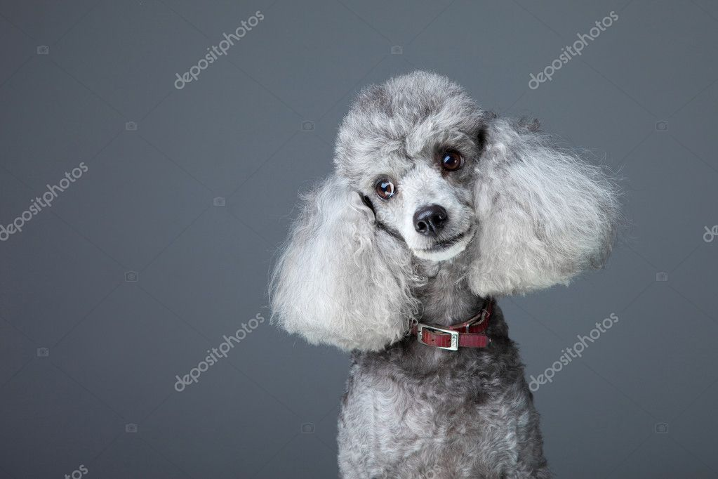 Grey Poodle Curious gray poodle - stock