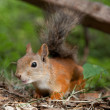 Stock Photo: Curious Europered squirrel searching for acquaintance
