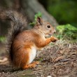 Постер, плакат: Red squirrel eating in a park