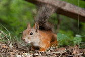 Curious European red squirrel searching for acquaintance — Stock Photo