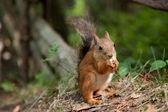 在一个公园吃的红松鼠 — 图库照片