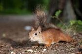 Hungry squirrel — Stock Photo