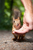 Red squirrel eating from human hand — Stock Photo