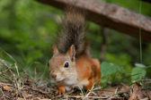 Curious squirrel of Finland — Stock Photo