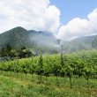 Vineyard cultivation in South Tyrol — Stock Photo #5402406