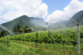 Vineyard cultivation in South Tyrol — Stock Photo
