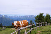Cow in the mountains — Stock Photo