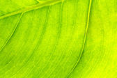 Texture of a green leaf as background — Photo