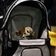 Miniature dog in carriage — Stock Photo