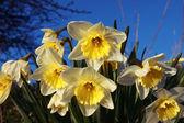 Narcissus — Stock Photo