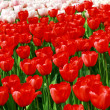 Red and creamy tulips — Stock fotografie