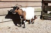 Ziegen in der farm — Stockfoto