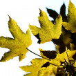 Maple leaves - Photo