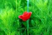Czerwony kwiat mak — Zdjęcie stockowe