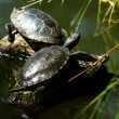 Trachemys scripta elegans — Stock Photo