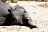 Lying elephant — Stock Photo