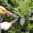 Clippers pruning bushes — Stock Photo