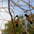 Willy Wagtails - Foto Stock
