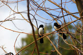 Willy Wagtails — Stock Photo