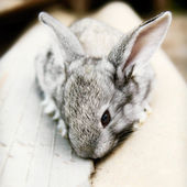 Cute cudly baby pet bunny rabbit — Stock Photo