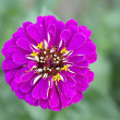 Single pink Zinnia Flower with natural background — Stock Photo