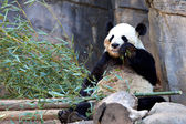 Panda bear eating bamboo — Stock Photo