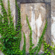 Old wall with ivy - Stock Photo