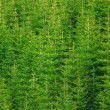Spruce trees — Stock Photo #5690557